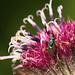 Another Tiny Metallic Wasp