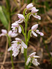 Amerorchis rotundifolia (Round-leaf orchid)