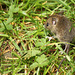 Wood Mouse Apodemus sylvaticus