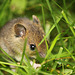 Wood Mouse Munching Bread