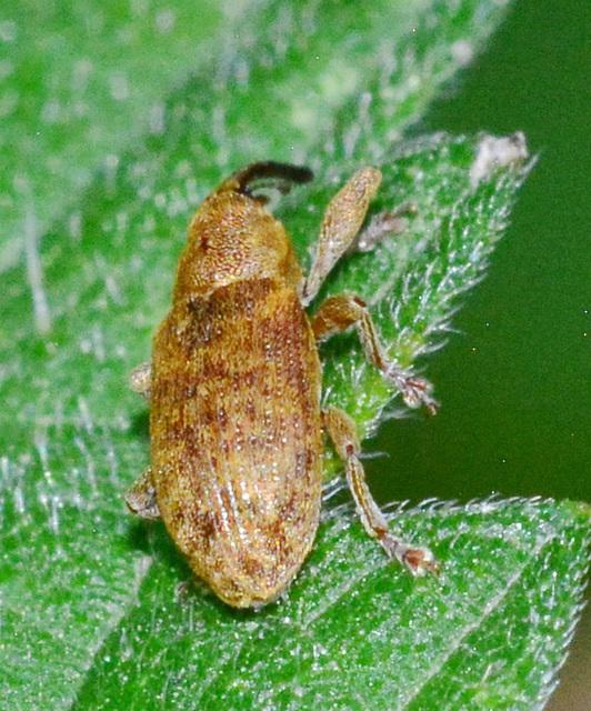 Weevil. Dorytomus species