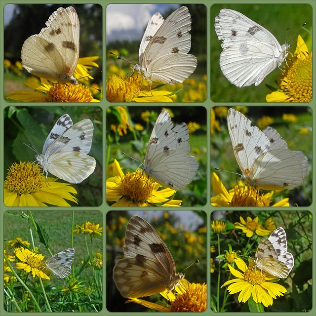 Checkered White (Pontia protodice) Collage