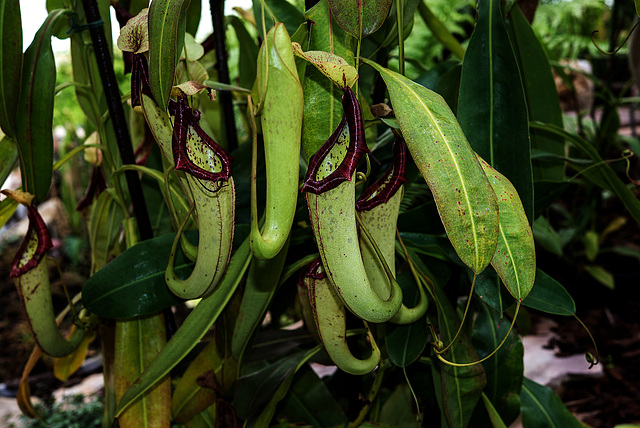 NICE: Parc Phoenix: Nepenthes northiana ( Nepenthaceae ).