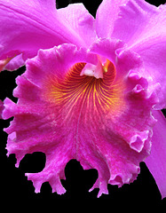 Orchid Radiance by My Lovely Wife (Explored)
