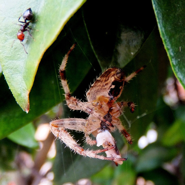 Gartenkreuzspinne (Araneus diadematus) Die Großen bekommen die größten Brocken und die Kleinen schauen zu... . ©UdoSm