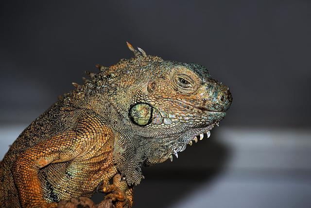 NICE: Parc Phoenix: Un Iguane (Iguana iguana). 01