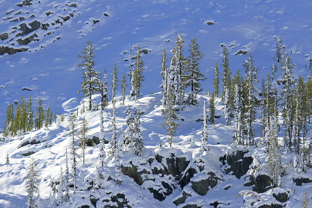 Larches and Snow
