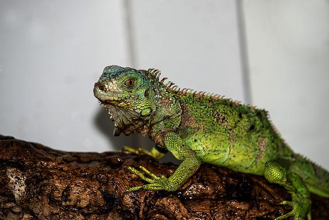 NICE: Parc Phoenix: Un Iguane (Iguana iguana). 03