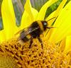 Bee & Sunflower 1