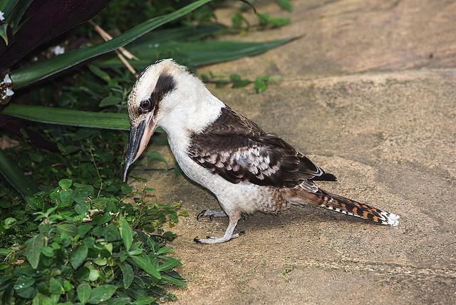 NICE: Parc Phoenix: Un martin-chasseur géant ( (Dacelo novaeguineae). 01