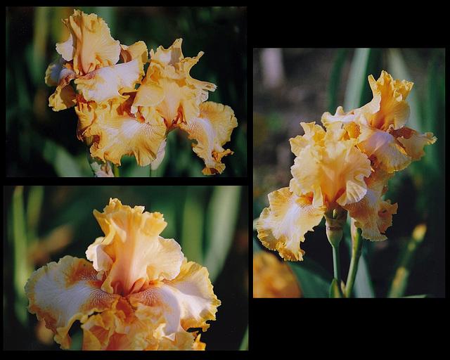 Iris Cajun Rythm