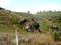 Cows on the Hill.