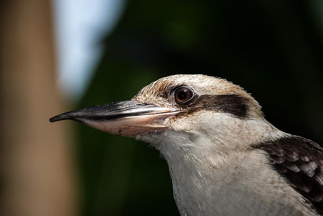 NICE: Parc Phoenix: Un martin-chasseur géant ( (Dacelo novaeguineae). 03