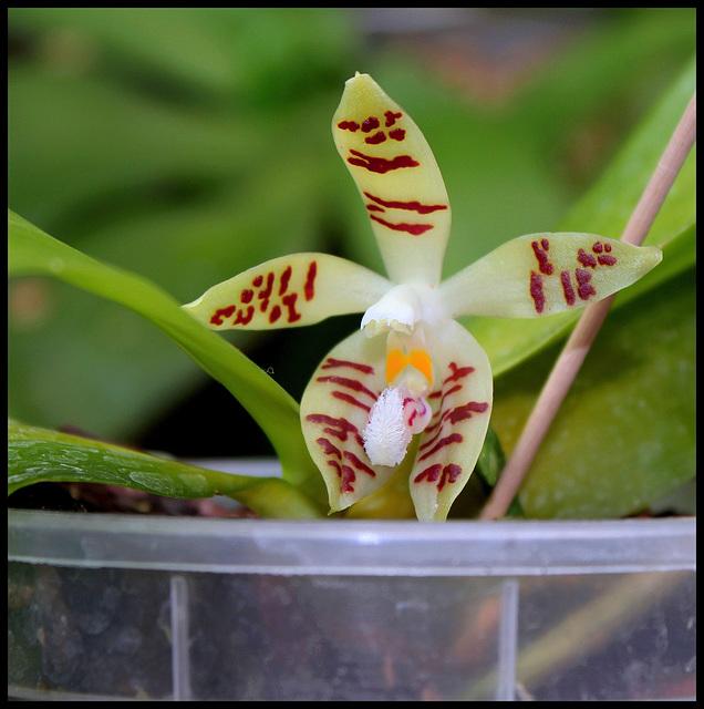 Phalaenopsis sumatrana zebrina