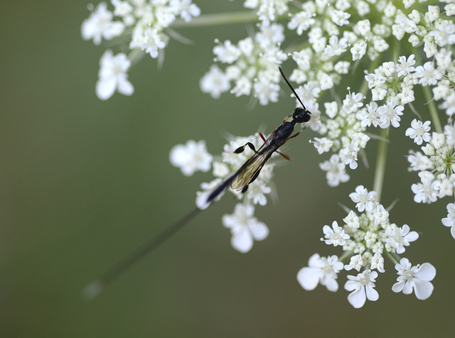 The ichneumon wasp