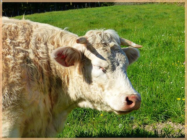 Linette, vache Charolaise, 1 an.