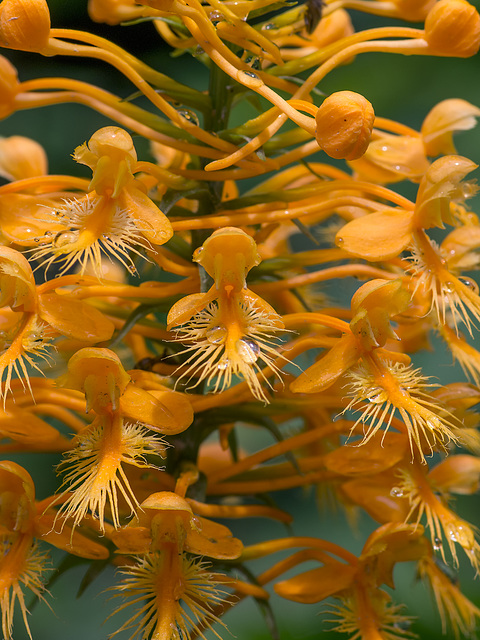 Platanthera ciliaris (Yellow Fringed orchid)