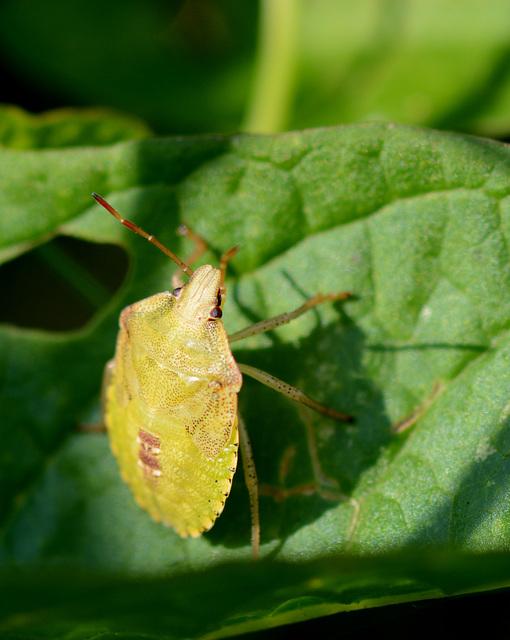 Yellow shield bug