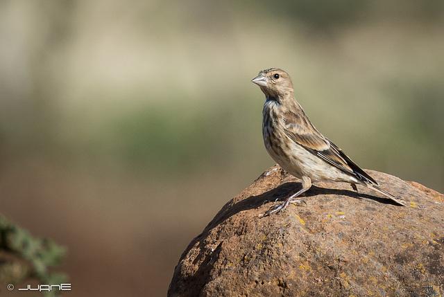 Pardillo común, Carduelis cannabina meadewaldoi
