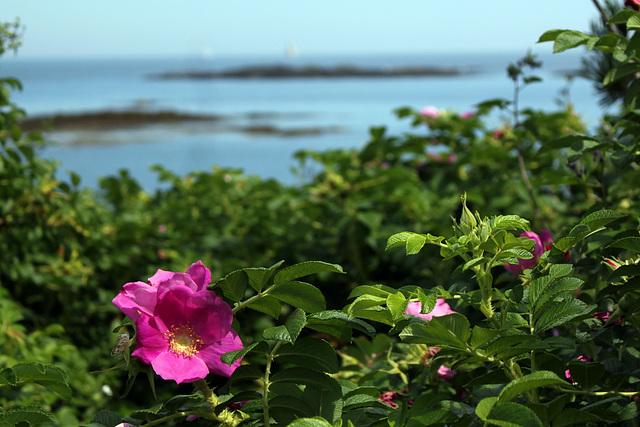 Beach rose, Granite Point