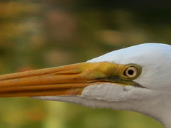 Garza Blanca - Egretta Alba