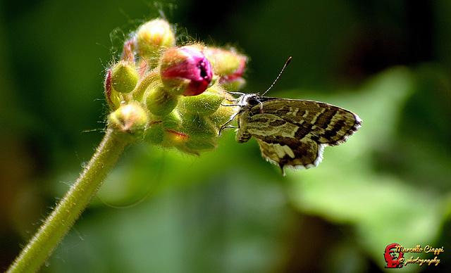 Licenide dei gerani  --  Cacyreus marshalli