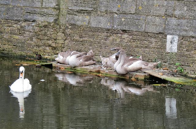 swans, western dock canal, london