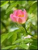 wild pink rosebud