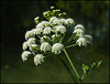 umbelliflora