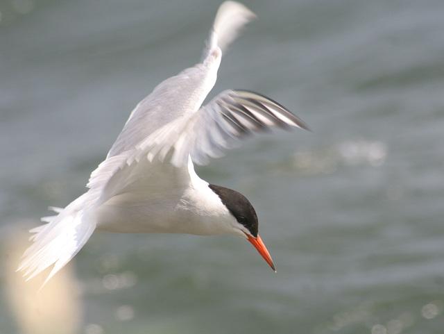 common tern/sterne pierregarin