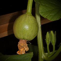 Fuzzy Young Pumpkin