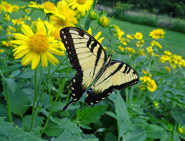 Eastern Tiger Swallowtail (m) (Papilio glaucus)