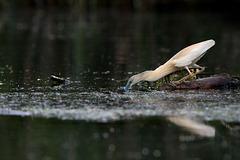 La pêche du chevelu
