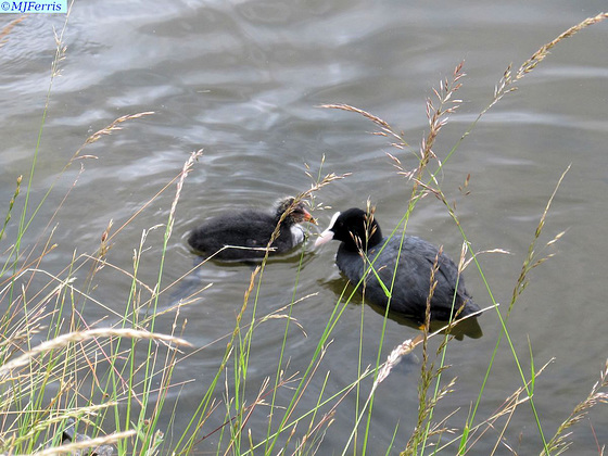 01 Coot with chick