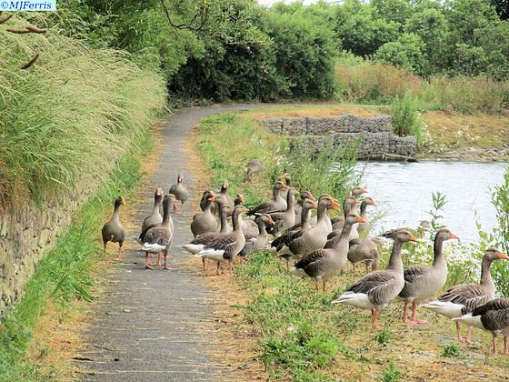 02 greylag geese