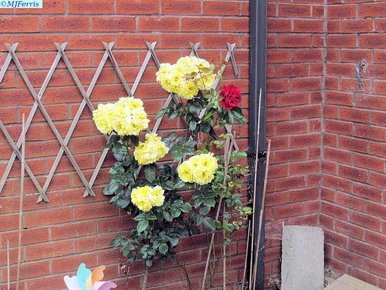 04 yellow roses