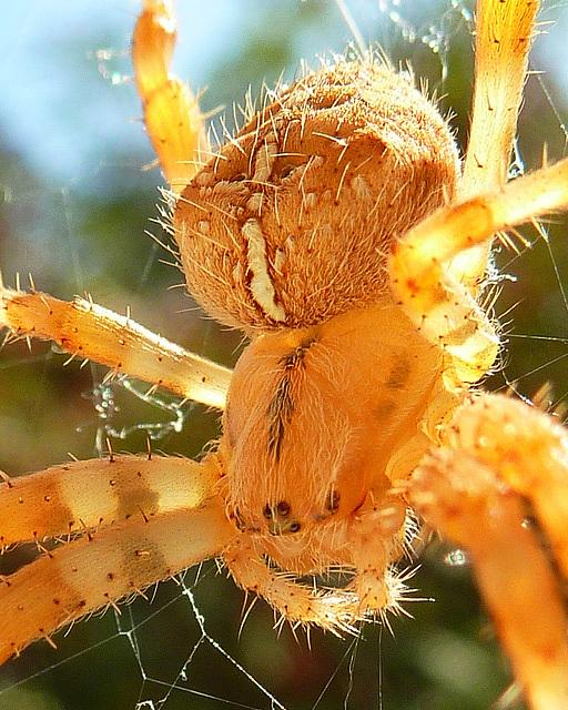 Sunlit spider