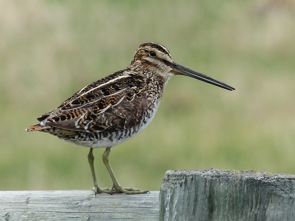 A Snipe from last year