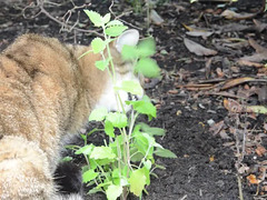 catnip planted