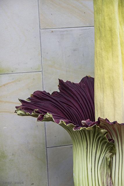 Titanenwurz (Amorphophallus titanum)