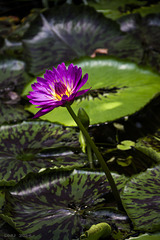 Tigerlotus (Nymphaea lotus)
