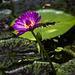 Tigerlotus (Nymphaea lotus)