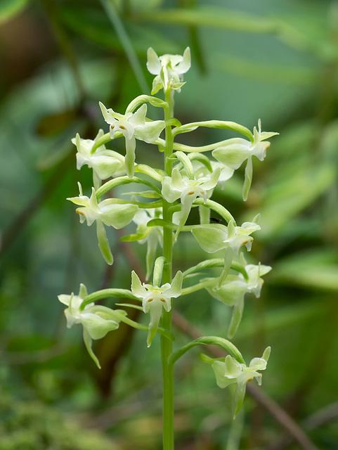 Platanthera orbiculata (Large Round-leaf orchid)