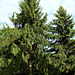 Picea abies (2)