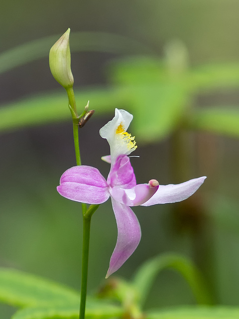 Calopogon oklahomensis (Oklahoma Grass-pink orchid)