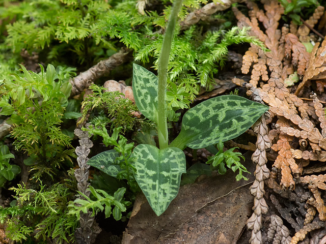 Goodyera repens (Lesser Rattlesnake Plantain orchid) leaves