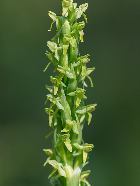 Platanthera aquilonis (Northern Green orchid)