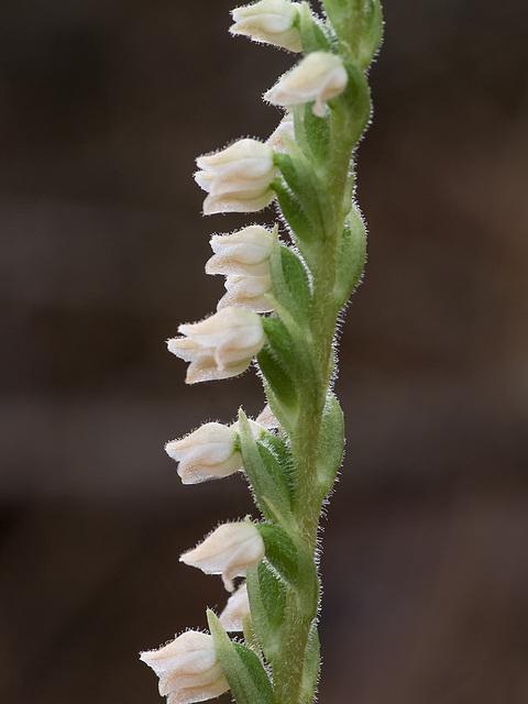 Goodyera tesselata (Checkered Rattlesnake Plantain orchid)