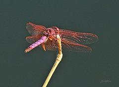 Une libellule fushia
