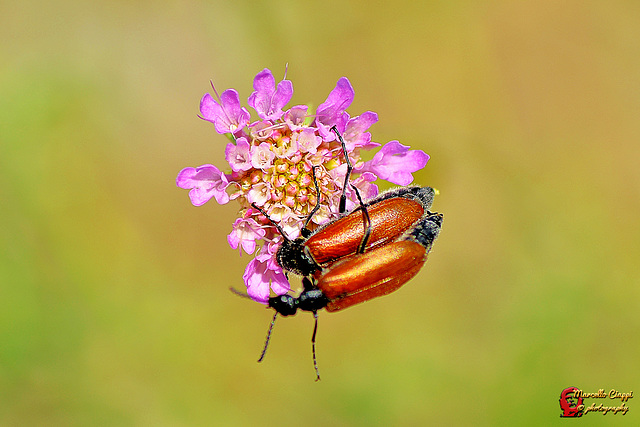 Coupling of beetles  (on explore)